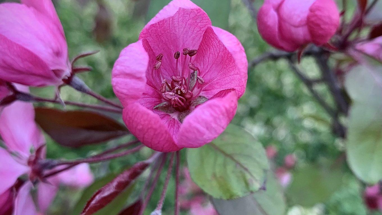 Kirschblüte in sattem Pink